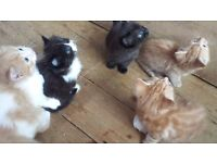 female very long haired kittens for sale
