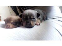 Rare beautifull chihuahua pupps blue n chocolate n tan