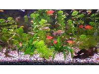 Tropical Fish - Livebearers and Plecos Guppies, Mollies and Platies
