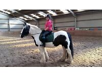 Lovely coloured cob for sale