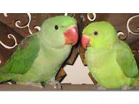 Adorable Baby Green Ringneck talking parrot
