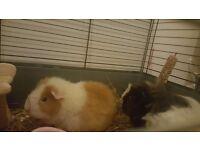 2 Guinea Pigs Free to Good Home
