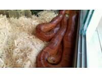 4 year old corn snake