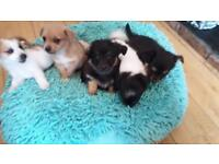 Jack'Chihuahua Pups