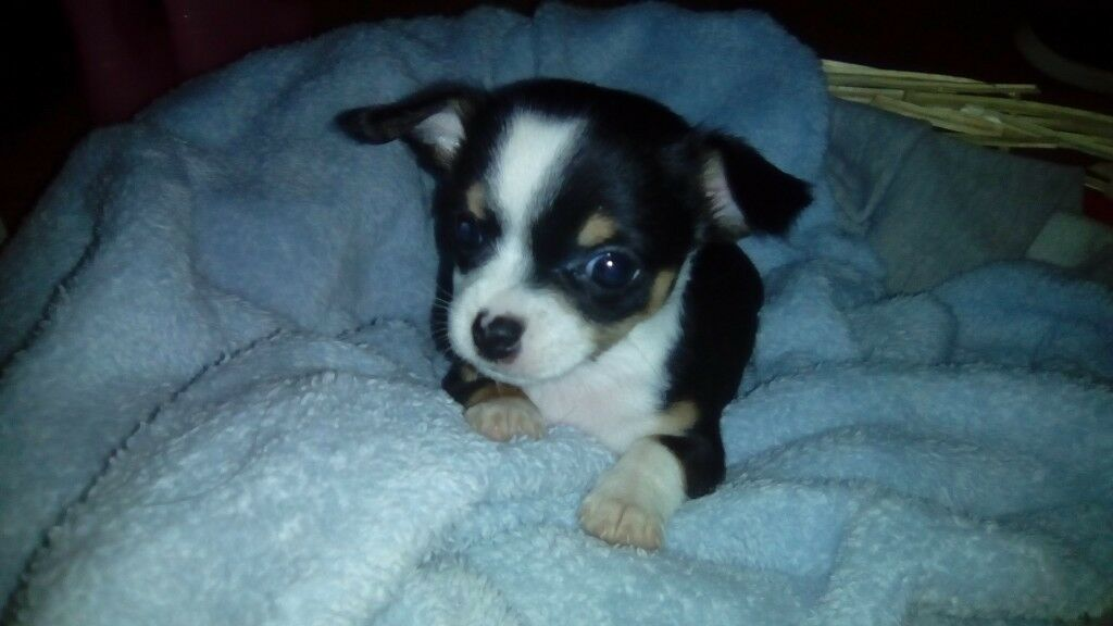 Tiny /teacup Chihuahua pup, female | in Antrim Road, Belfast | Gumtree