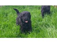 Mini Labradoodle puppies (2nd Gen)for sale
