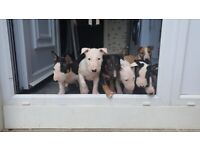 KC English Bull Terrier Puppies