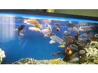 Cichlids, Malawis Fish For Sale