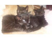 Black tabby kittens female