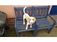 beagle.....lemon and white 7 month old female