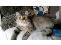 Full siberian cat