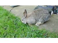 Rabbit in need of loving home