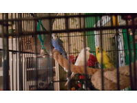 3 young budgies with big cage