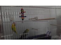 Free , 2 lovely budgies with cage etc.