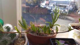 Delosperma cooperi, ice plants, lambrantus