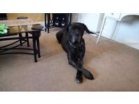 8 year old mastiff cross Caine corso bitch for sale to loving home only