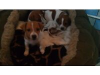 Jack Russell puppies READY TO GO!