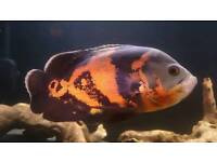 4 Oscars and Severum for sale