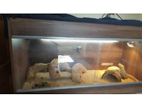 TUES 12th - NOW SOLD - Blood Red Bearded Dragon for sale plus tank.