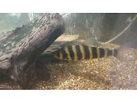 LEO BANDED LEPORINUS RARE TROPICAL FISH