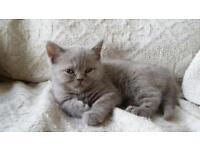Scotish grey Kitten