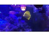 sub adult Yellow tang (Zebrasoma flavescens)