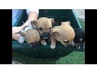Jack Russell x chihuahua puppy for sale