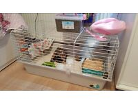 GUINEA PIG WITH CAGE FOOD AND MORE