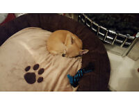5 months old Chihuahua female need urgent rehoming