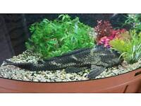 Trigon 190 aquarium in beech with 16 inch plec