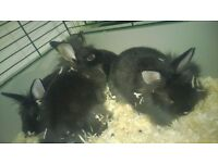 baby dwarf rabbits lionheads, very tame, used to children, cage, hutch, etc i can deliver