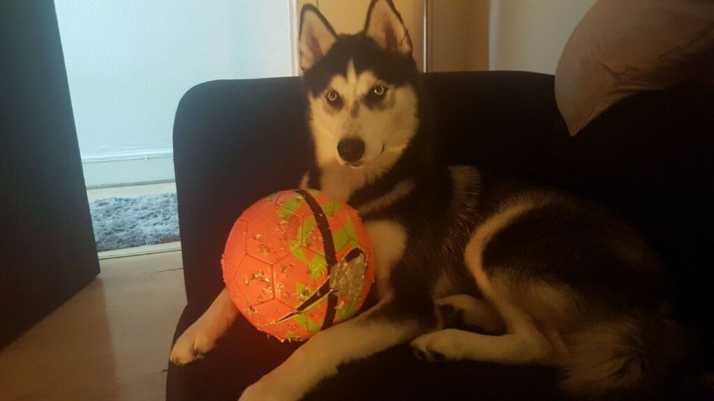8month old male husky