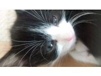 Ragdoll x kittens black&white males ready 25th november