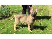 KC German Shepherd female puppy