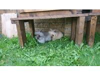 2x lion head Rabbits +cage+cover