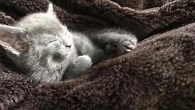 Blue Kittens for Sale!