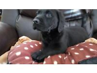 2 black male Labrador puppies for sale