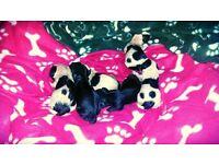 tibetan terrier x yorkshire terrier puppy