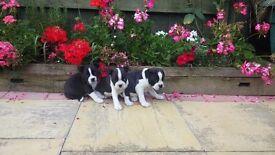 ## 3 quarter biston terrier puppys ##