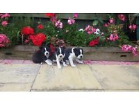 ## 3 quarter biston terrier puppys ##
