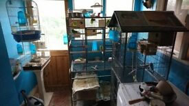 20+ (Approx) budgies with 2 large and 2 small cages for sale.