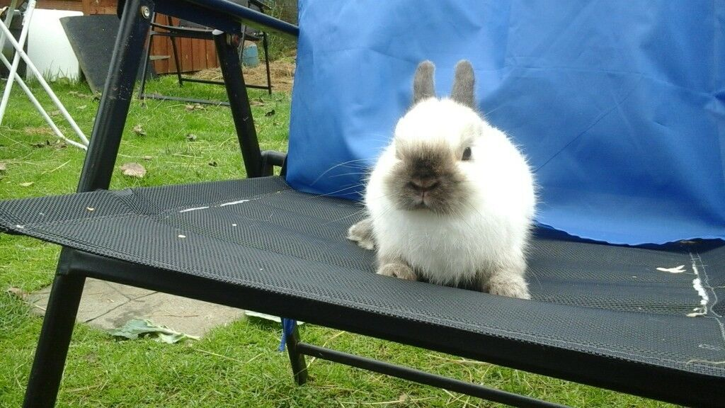 Gorgeous small seal point netherland dwarf buck rabbit ready now for loving home