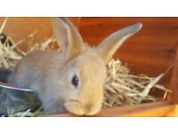 2 baby boys rabbits left for good home now