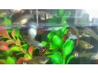 Guppies male and females may 15 left for £10