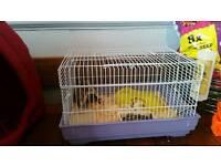 Gray boy hamster