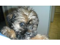 Shorkie Tzu 9 and half weeks Boy Chipped and First Needles