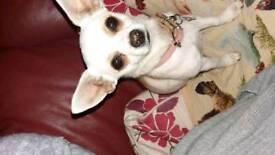 Tiny girl chihuahua