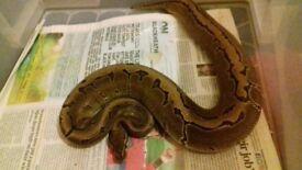 pinstripe royal/ball python