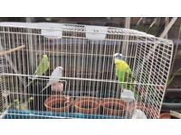 2 pairs breeding Budgies. Lovely colours . Price per pair. Offers considered.
