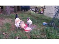 Pair of Chickens for sale Light Sussex / Appenzeller